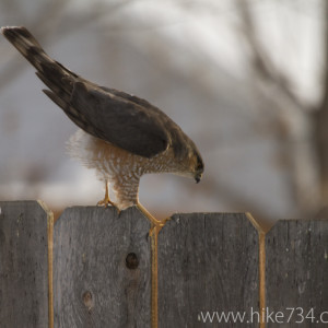 Sharp-shinned Hawk on fence