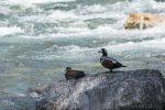 Harlequin Duck Survey 2016